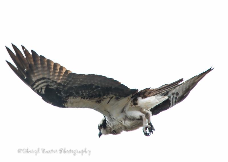 Osprey (Galetta)