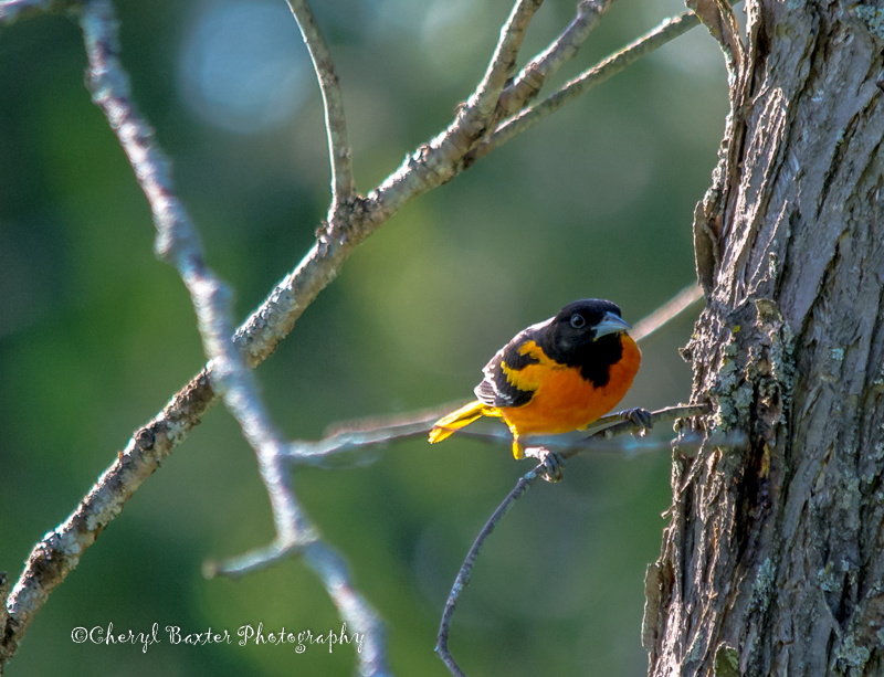 Baltimore Oriole in my yard- June 27, 2014
