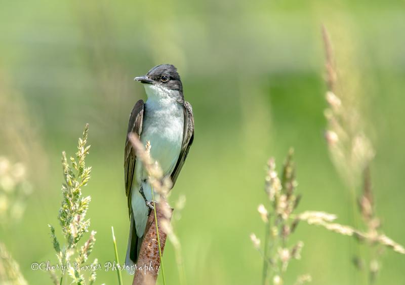 Eastern Kingbird My field, June 27, 2014