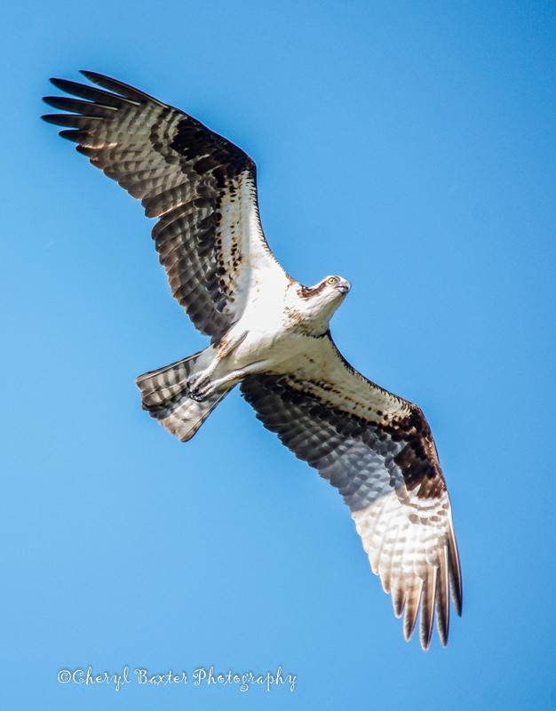 Osprey flying over me at the 5-Span Bridge, Pakenham.