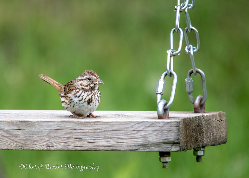 Song Sparrow (I believe it's a young one- My Yard)