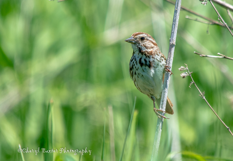 Another Sparrow--Song Sparrow.  (My Yard)