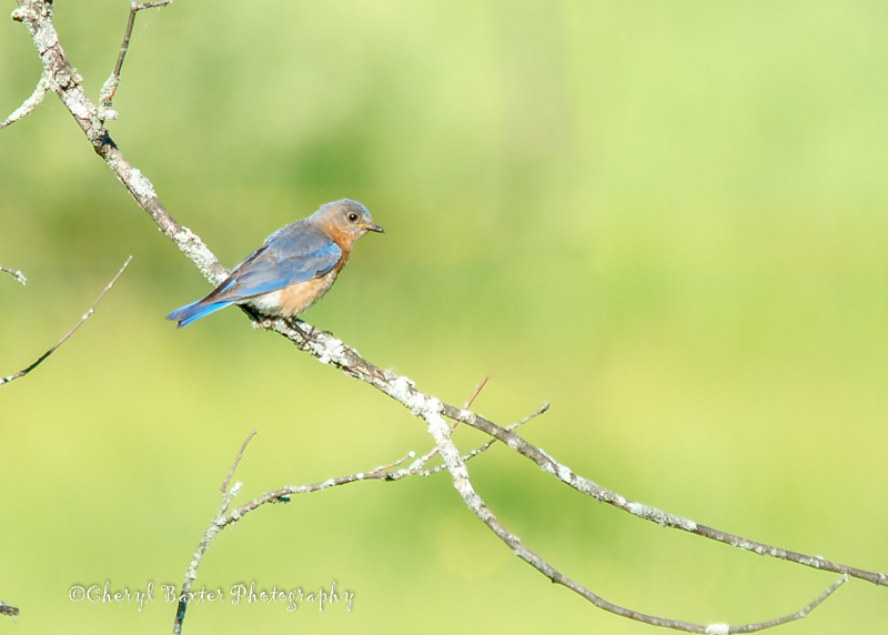 Last but not least,  MRS. Bluebird!  I really hope you move in to our Bird house!