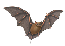 Bat_free-tailed