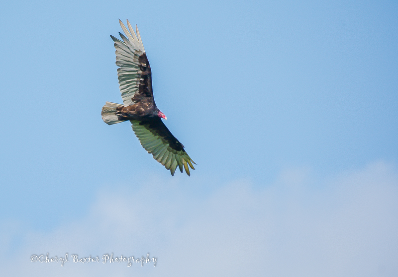 Turkey Vulture flying over my field.