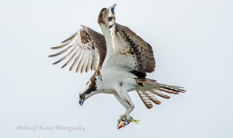 Osprey (St. Lawrence River)