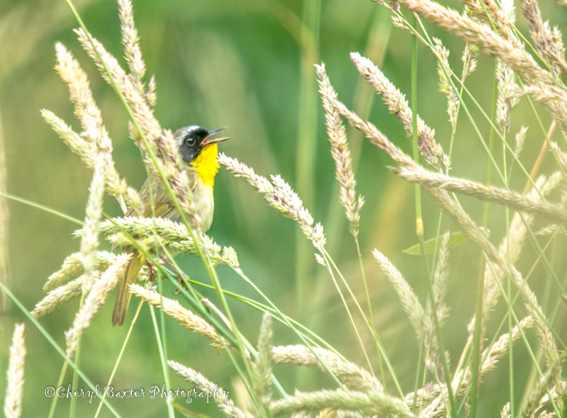 Common Yellow-throated Warbler