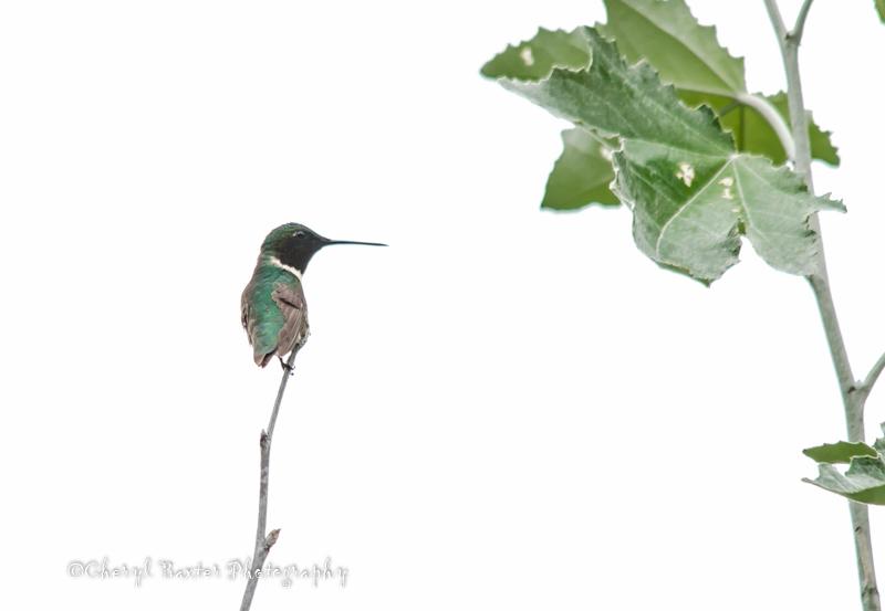 Little Ruby-throated Hummingbird having a rest