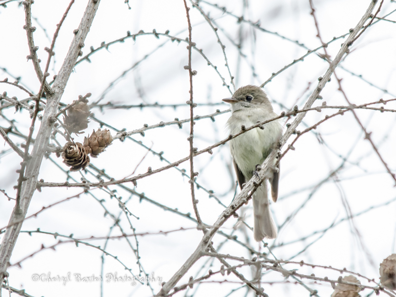 Not sure if this is a Willow Flycatcher, or an Alder Flycatcher