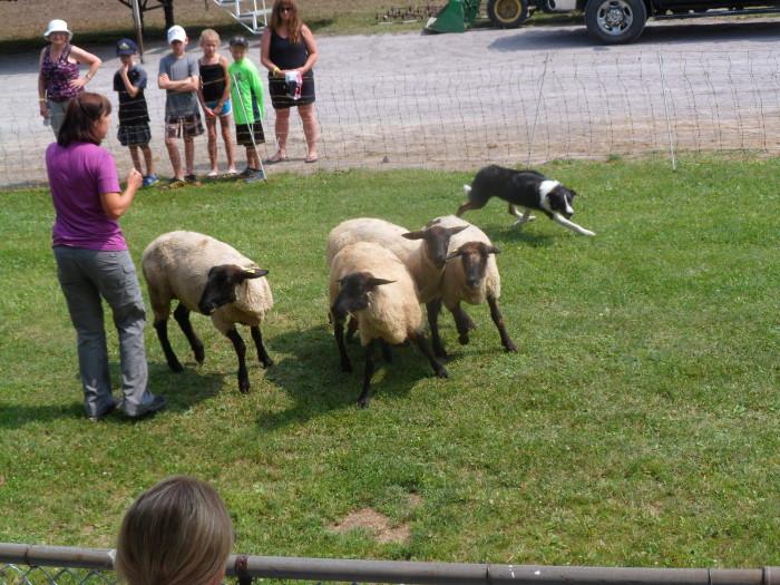 Natalie's border collie herds sheep