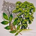 Ash Tree2