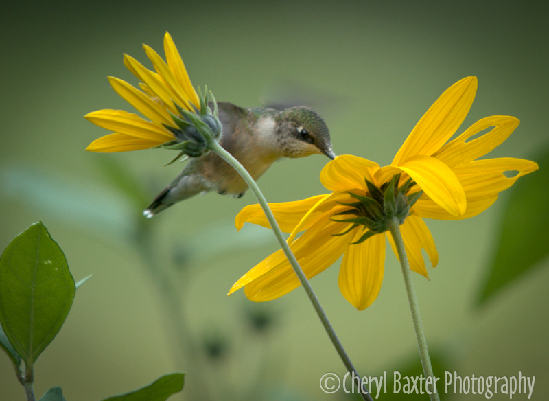 Female Ruby-throated Hummingbird (our property) 2013