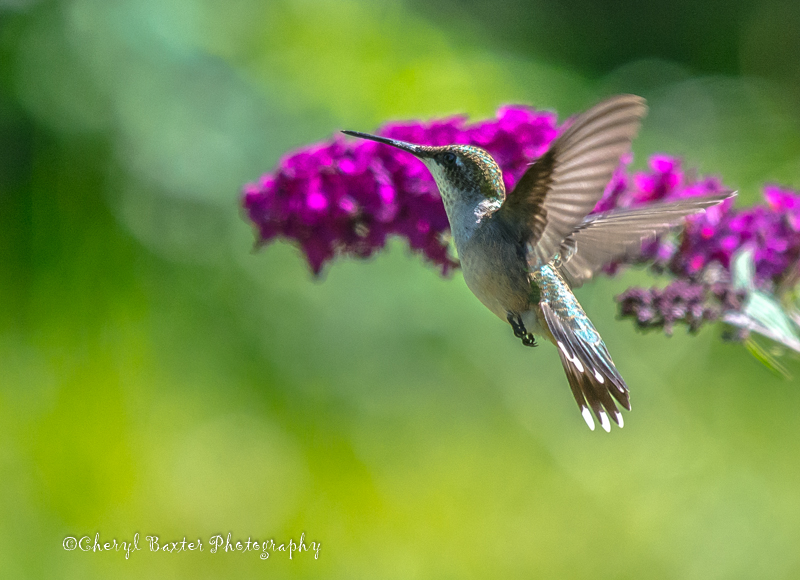 Female Ruby-throated Hummingbird (our property)