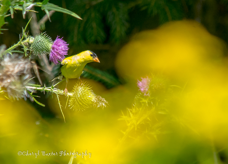 Goldfinch (our property)