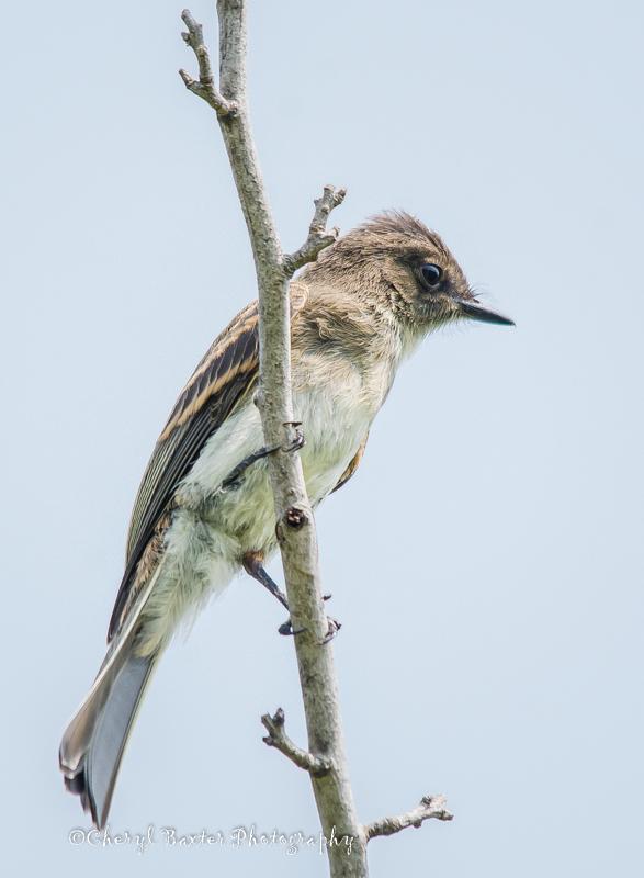 Juvenile Eastern Kingbird (my property)