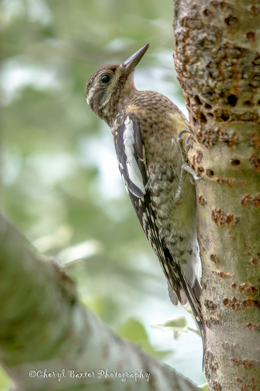Juvenile Yellow-bellied Sapsucker (my property)