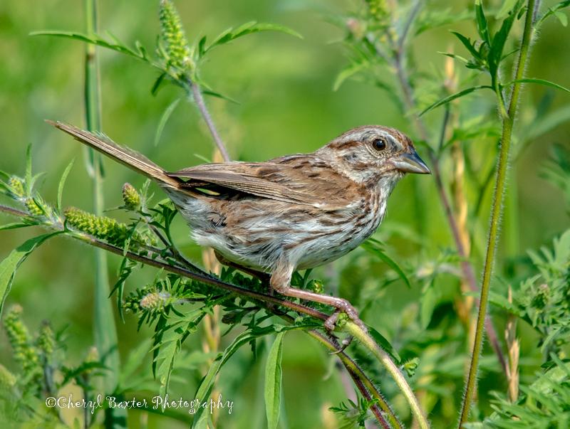Cute Song Sparrow (my yard)