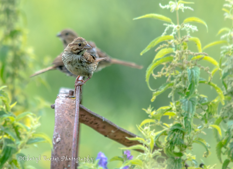 Song Sparrow family (my property)