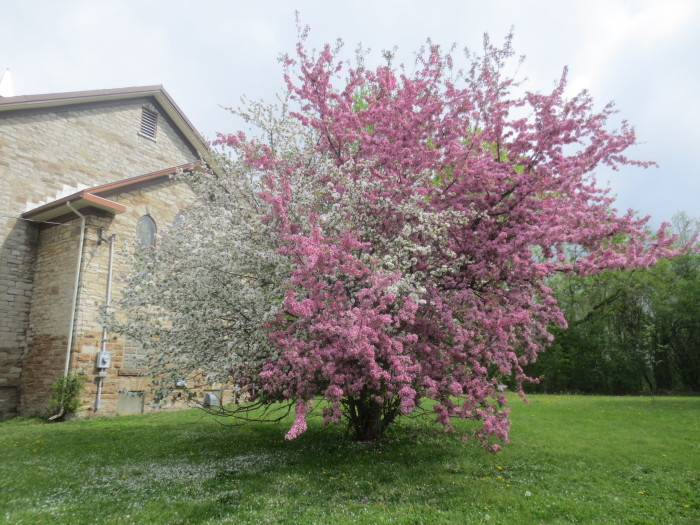 The two-colored apple tree behind the Presbyterian Church, at 111 Church Street, was in full blossom on May 23. It had certainly been attracting the attention of everyone who passed by on foot or bike. Although there were no reports from the neighbourhood of distracted drivers at that location, it's likely that more than a few motorists slowed down for good look.