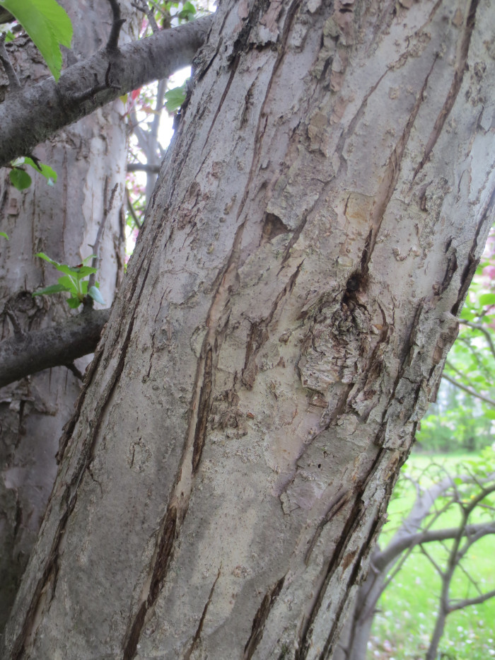 The bark texture of each trunk was significantly different. The south tree sported distinctive furrows and accompanying ridges.