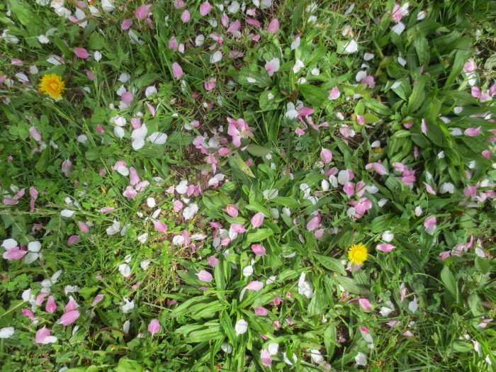 Down on the grass, beneath the south side of the close growing trees, was a spring carpet of predominantly mauve coloured petals on May 23. It was a rich composition when viewed at close range.