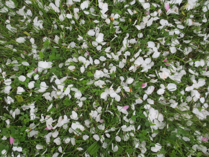 For a brief time in the lifecycle of an apple tree, the ground beneath the canopy is dusted with freshly fallen petals. In this view, some have slipped down between the grass and clover leaves, while others remain suspended on leaf tips until a gust of wind disturbs them.
