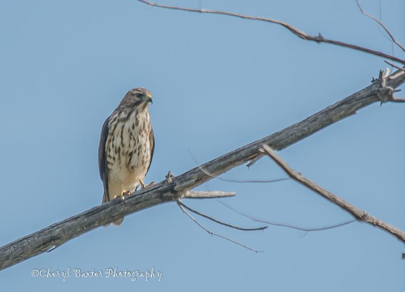 Cooper's Hawk (Pakenham)