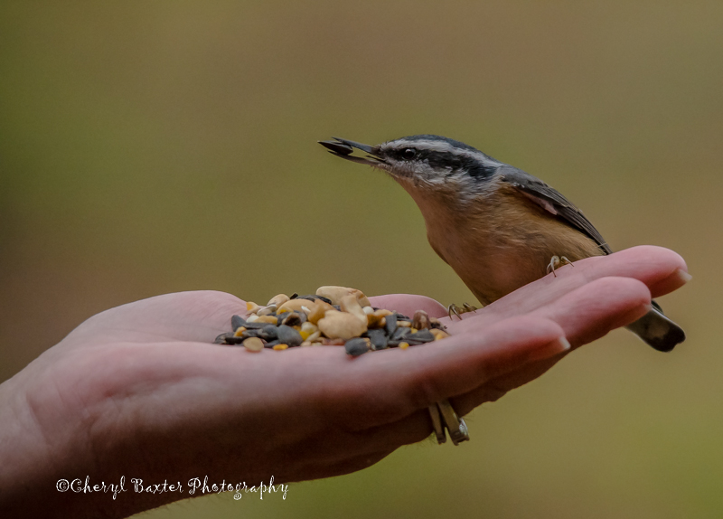 Red-breasted Nuthatch eating out of Lisa's hand. (Old Quarry Trail)