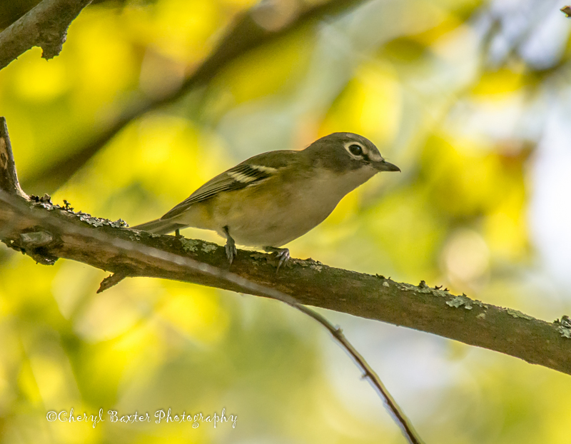 A lifer for me. Not the clearest shot, but this is a Blue-headed Vireo (Old Quarry Trail)