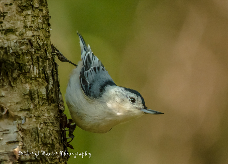 White-breasted Nuthatch (Old Quarry Trail)