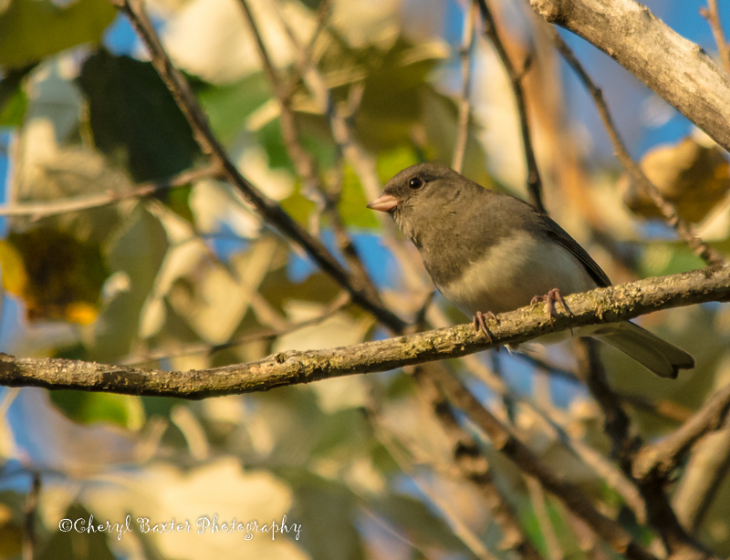 They're back!  Junco (my yard)