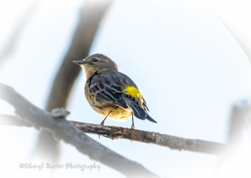 Yellow-rumped Warbler (my yard)