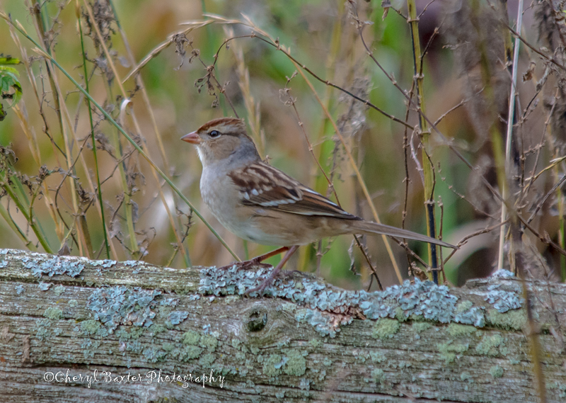 Juvenile White-crowned Sparrow (my yard)