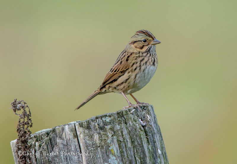 Another Lifer Lincoln's Sparrow (my yard)