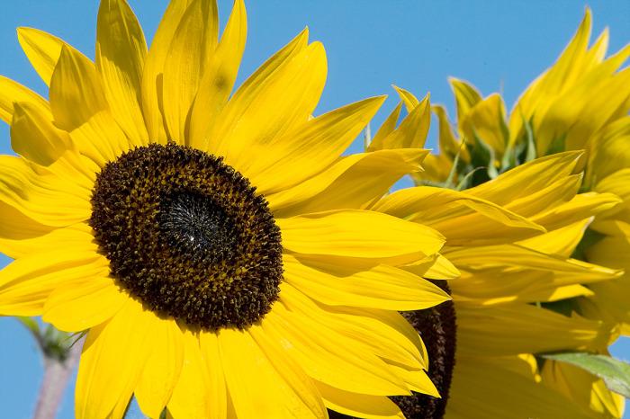 Sunflowers on Springbank Trail 2