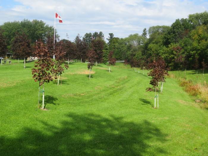 Growing on the grounds of this living memorial are 105 maples, each with a ground mounted plaque recognizing a veteran from our community. Although the Walkway trees are referred to at times as red maples, red maple is not red-leafed. The red maple has reddish buds and flowers, and may have red leaf stems and red fall colour, but the summer leaf is green.
