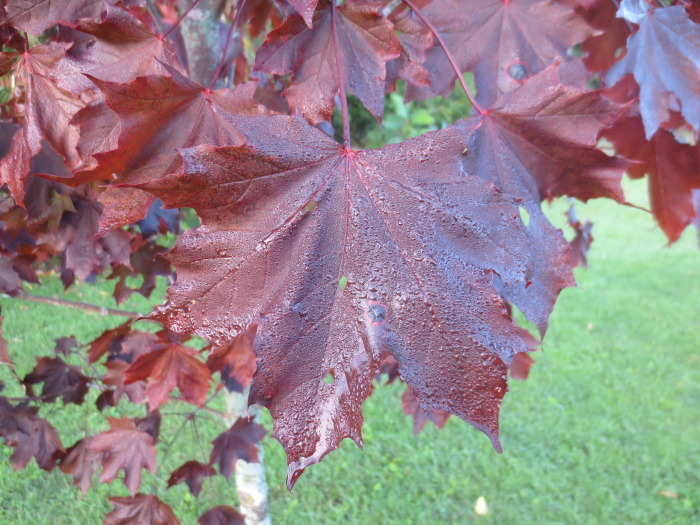 Maple trees with mature red leaves are alien species, including the Norway variety known as 'Crimson King' with leaves that are burgundy or almost black. They're known for the intensity of their leaf colour, fast growth, and dense shade.
