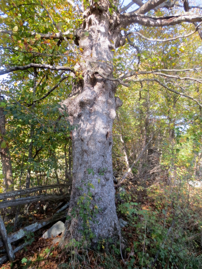 Measuring 6.62 ft / 201.9 cm in circumference, and 29 in / 73.7 cm in diameter, the significant size of this fencerow ironwood has resulted from stable growing conditions over a long period of time.