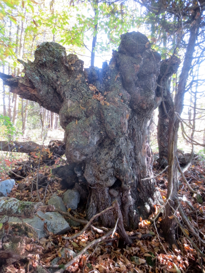 At chest height, with some of its girth missing, the original circumference of the mighty ironwood stump was conservatively calculated at 10.2 ft / 3.11 m, with a diameter of 2.99 ft / 91 m. Wow! In comparison, the largest hop-hornbeam found in Ontario, in Southwold Township, Elgin County, was recorded in 1987 with a diameter of 3.18 ft / 97 cm. No circumference measurement is available at http://www.oforest.ca/honour_roll/.