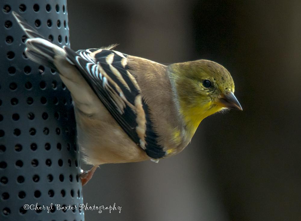 American Goldfinch (my yard)