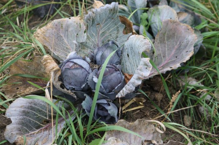 IMG_3364 -cabbage