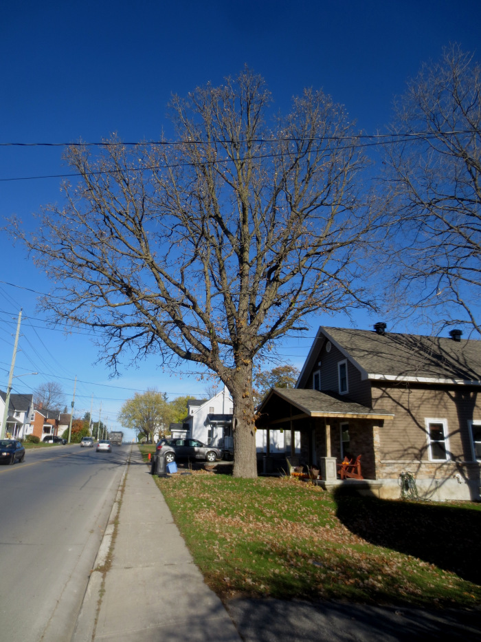 Even in the fall, without its broad canopy of leaves, this Ottawa Street survivor is a landmark in our community. At 3.2 m / 10.6 ft in circumference at chest height, and 1.0 m / 3.3 ft in diameter, this sizeable burr oak has reached a mature age despite some significant challenges while growing in an urban environment. Photo: October 24, 2014