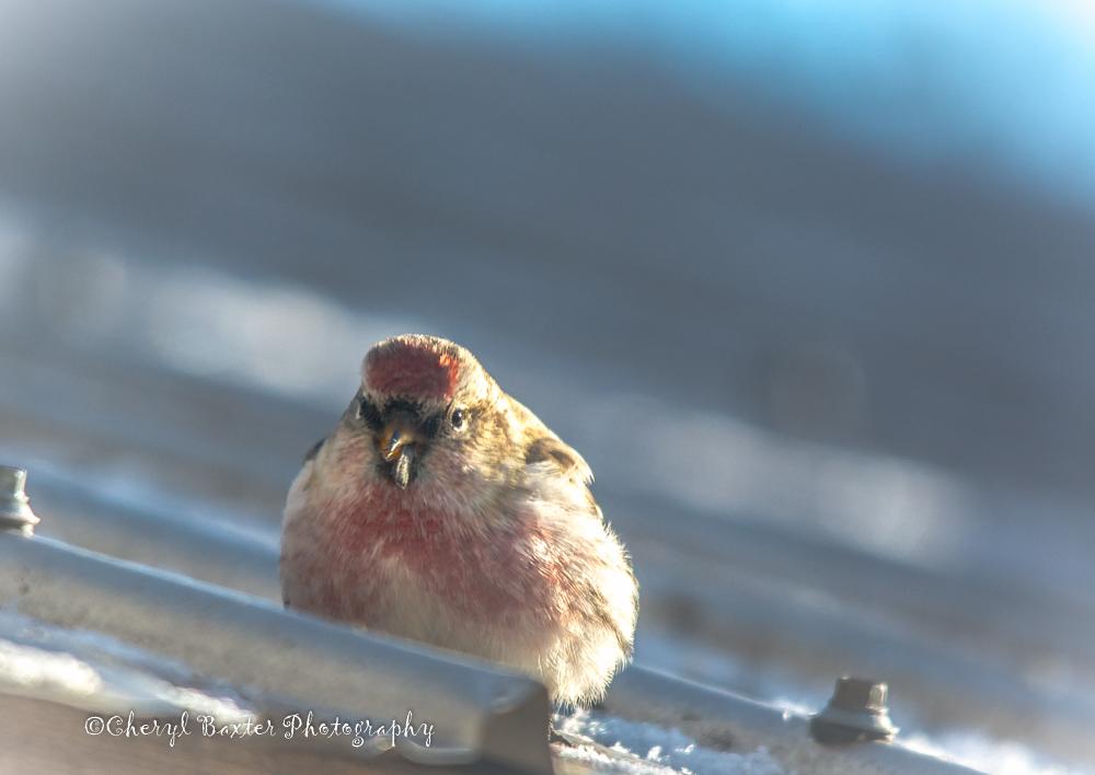 Common Redpoll on my roof. Dec. 29