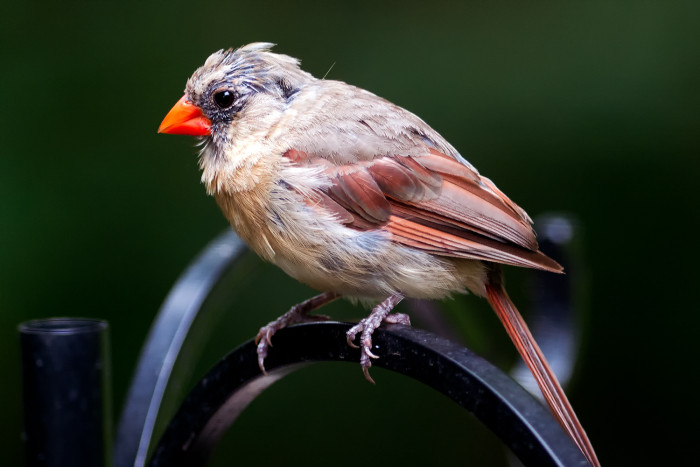 Female-cardinal-11