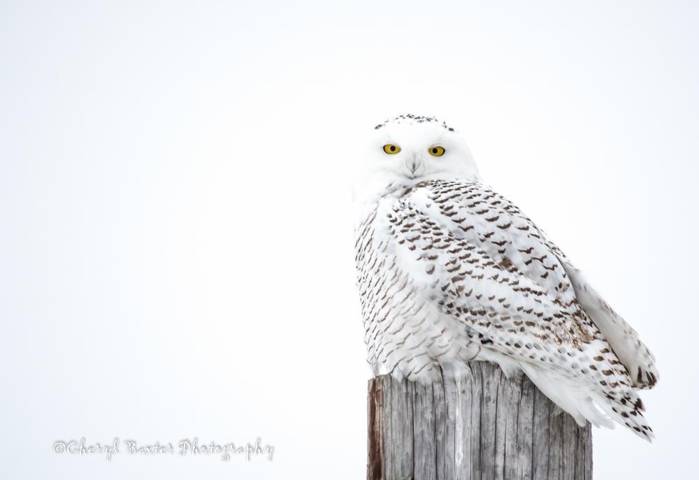 Snowy Owl, December 2013- Highway 29, Almonte.