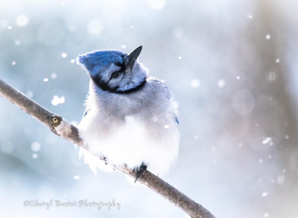 Blue Jay, my yard- 2013