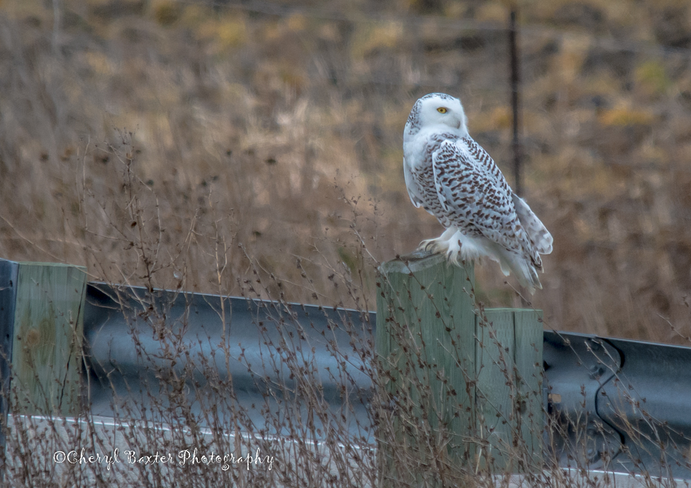 First Snowy Owl spotting for me this year. November 26, 2014- Kinburn
