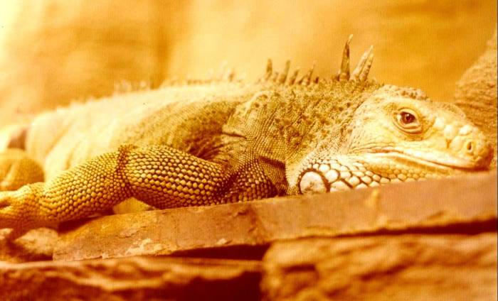 b362 - Monitor Lizard Australia