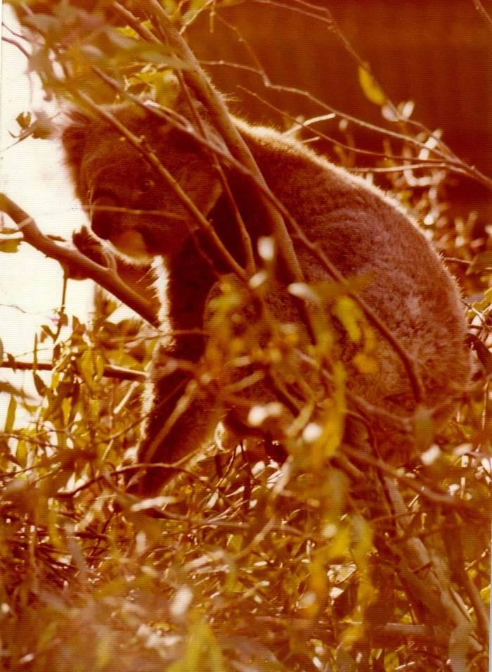 b366 - koala