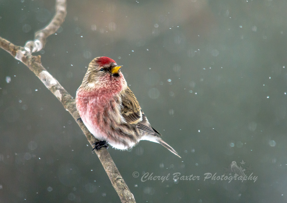 Common Redpoll (male) during the snowfall. (my yard)